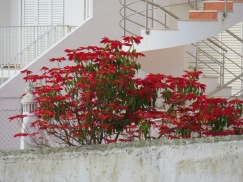 This magnificent poinsettia in full bloom on a private patio.