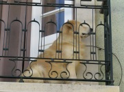 On guard on his balcony. Not distracted by a single thing until a tiny dog walked up the street!
