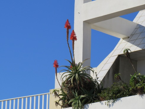 Growing on a patio two floors up. Beautiful against the white of the building and the blue sky. e