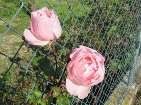 A long fenced wall laden with gorgeous roses, many of them past their prime but almost as many still vibrant and opening.