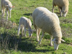 Lots of baby lambs frolicking in the fields. They tend to be a bit shy and huddle up close to Mama when we approach.