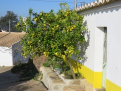 Imagine having a lemon tree right beside your door growing out of the flower box!!