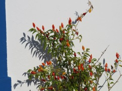 Quite a large piri piri bush climbing the wall around the corner from the lemon tree in the previous photo.