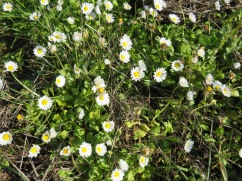 These are the size of very tiny buttons and they plaster the hillsides in many places. From a distance it resembles snow!!