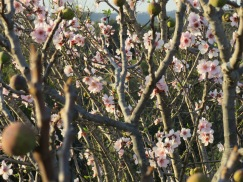 If you look closely you will see the old figs from last years crop mingled with the new almond blossoms.