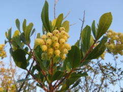 The new berries on the medronho trees.