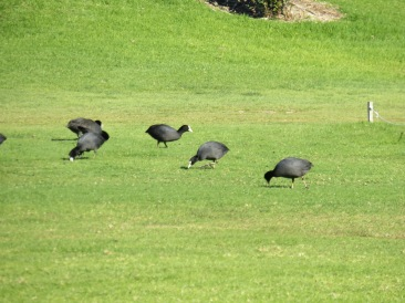 I can't find what these are!! There were about 20 - 30 of them grazing on the golf course. They look a bit like guinea fowl but smaller. I will keep searching.