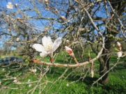An almond bloom and an almond bud........sigh!! So lovely.