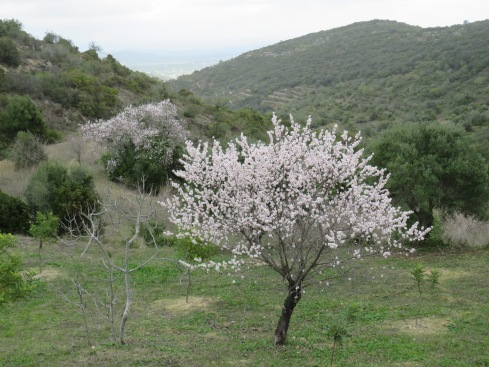 Said almond tree!