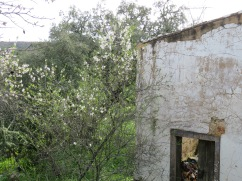 Almond blossoms against the grey/white of the old wall. It was quite stunning.