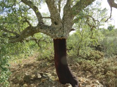 The ubiquitous cork tree in all it's splendor. Each one has a personality of it's own.