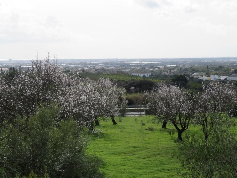 There are at least 30 trees in this particular orchard, in various stages of flower.