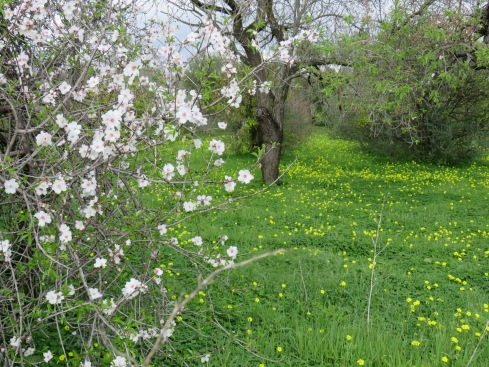 Between the almond flowers and the Bermuda Buttercups, the hillsides,and most meadows are bursting in colour. It truly is gorgeous.