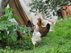 These chickens live right in the enclosure where the clothes are hanging in the last photo. I noticed they seem to be able to slip out the back fence and wander around very near our cars but they go home to roost each day so it obviously isn't a problem.