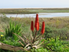 This is a variety of aloe and right now they are in bloom all over the place.