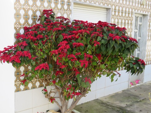 This poinsettia was a deep deep red. It was against a small house and facing south, which obviously it loved.