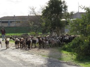 I came across a shepherd with a large flock of long horned goats. I stopped to let them go by without startling them.