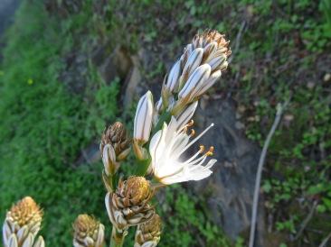 More wild flowers busting into bloom Asphodelus