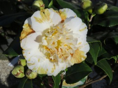 Queens of the winter flowers, Camellias. These were gorgeous with the two tone markings.