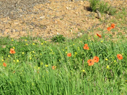 A small patch of dancing poppies right beside the parking area. My first for the season.