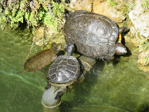 The turtles were out in droves today, enjoying the sunshine.