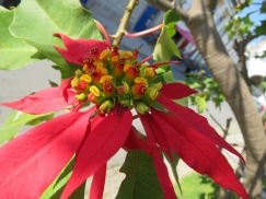 The poinsettia continues to bloom and provide welcome splashes of colour.