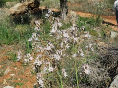 This is called Asphodel and the mountain was literally covered in it.