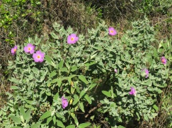 The cistus, which I love, are bursting into bloom.