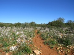 The path and a huge field of asphodel.