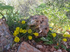 These are from the daffodil family. Very beautiful tucked away amongst the rocks.