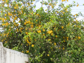 Look at this abundant lemon tree. Now close your eyes and imagine the scent!!