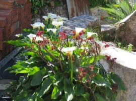 A glorious plot of calla lilies.