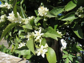 Sweetly scented orange blossoms....and right next to them, on the same branch.....