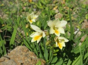A couple of clusters of these tiny beauties popped up beside the road.