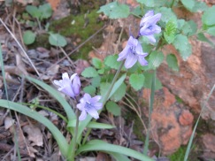 A tiny cluster of bluebells.