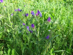 Clusters of what I thik are blue hound's tongue all along the path heading up the side of the hill