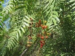 A pepper tree.