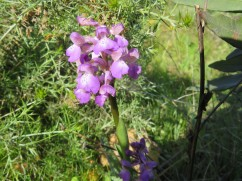 I saw two of these lovely orchid type flowers along one side of a hill.