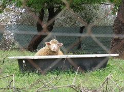 Sheep in a tub???