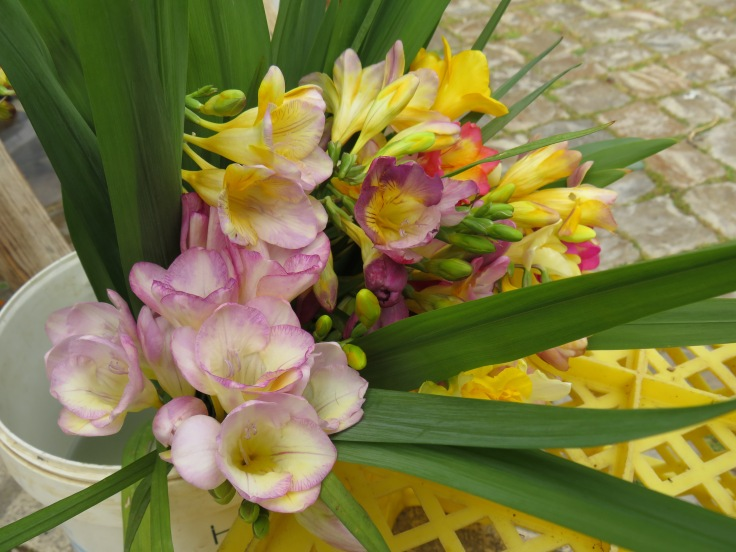 And for JoAnn...freesia. We bought this bouquet and our place now smells heavenly. Three euros!!