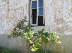 An abandoned house with the most fragrant rose bush that I've smelled in years and years. I smelled it long before I saw it.