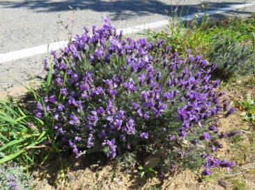 This lavender was heavily scented and again, right on the side of the road.