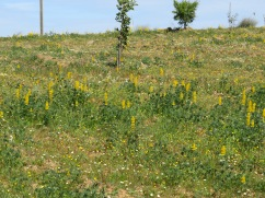 Acres and Acres of yellow lupin. I walked through part of the field in my glory!h