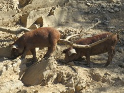 These two babies were cavorting all along this rocky terrain.