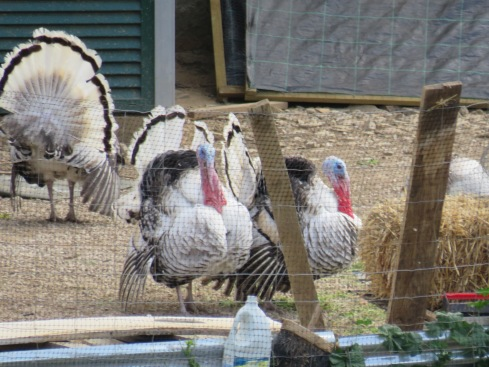 Thank goodness I have a great zoom. These turkeys were quite perturbed by our distant presence.