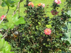 Gorgeously scented old roses growing along an old fence
