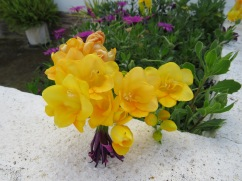 Freesia growing all along a small fence. What a rich and wonderful scent it sent out to me.