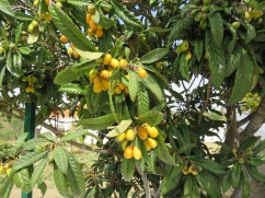 The nespera, or loquats, are ready to be picked and eaten.