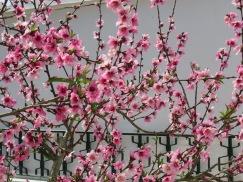 A plum tree in full bloom.