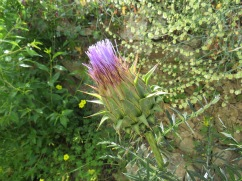 I loved this huge thistle which is about to pop and burst into bloom.